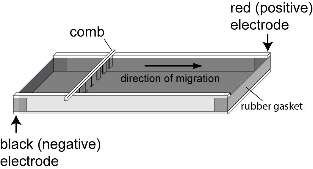 Agarose Gel Loading Dye Recipe as well Ikb Dna Ladder together with The Figure Shows A Schematic Diagram Of Simple Mass Spectrometer furthermore The Figure Shows A Schematic Diagram Of Simple Mass Spectrometer moreover  on diagram of electropsis